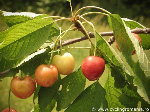 Fresh-June-cherries