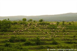 Sheep-grazing-on-the-terraces