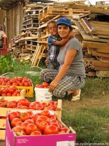 Tomato-harvesting
